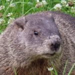 Where Have All the Woodchucks Gone?