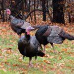 The Invasion of Wild Turkeys