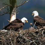 Yes, 42 Bald Eagles by Teacher Peter