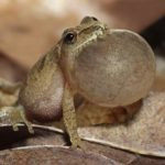 The Spring Peeper – A Tiny Frog with a Big Sound